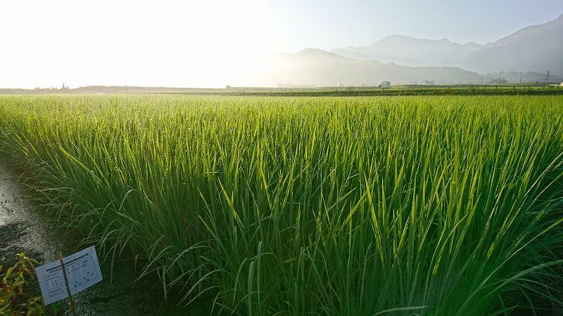 魚沼産コシヒカリの稲が順調に育っています